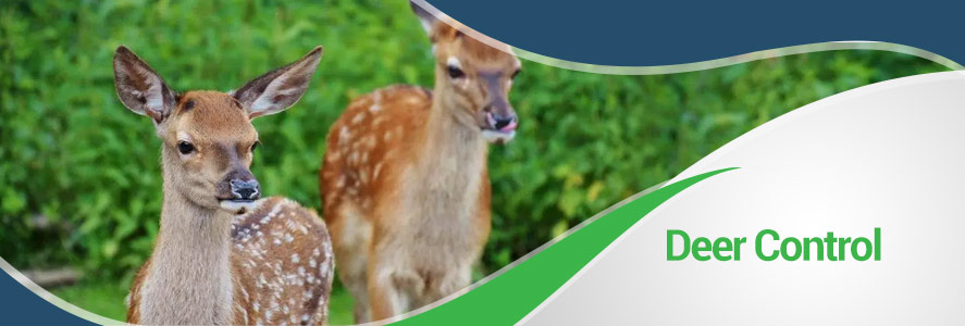 Deer Removal in Fairfax, Alexandria & Arlington