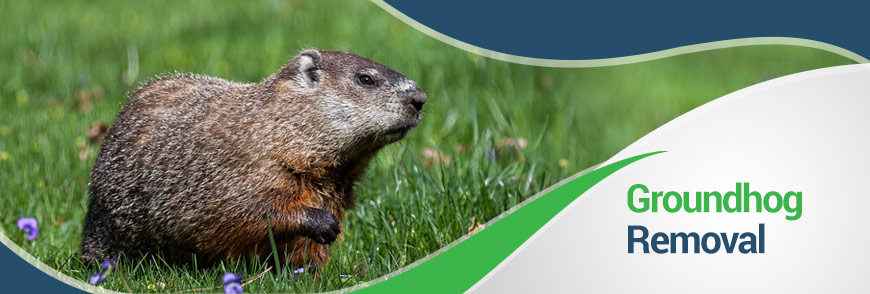 Groundhogs in Fairfax, Alexandria and Arlington, VA
