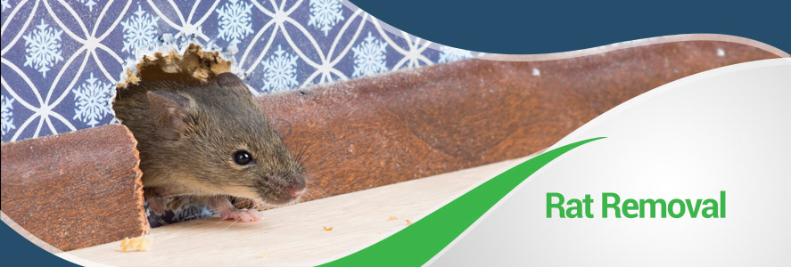 Rat Removal in Fairfax, Alexandria & Arlington, VA