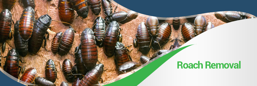 Roach Removal in Fairfax, Alexandria & Arlington