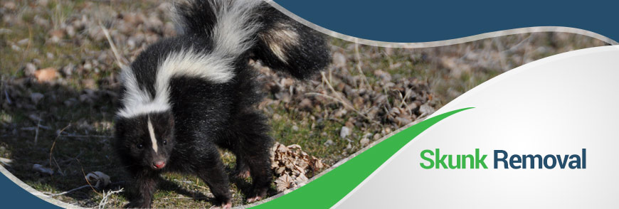 Skunks in Fairfax, Alexandria and Arlington, VA