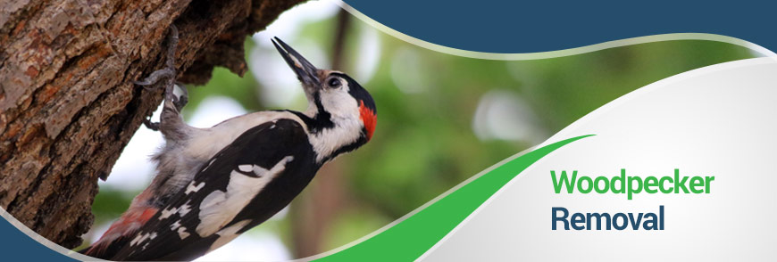 Woodpecker Removal in Fairfax, Alexandria and Arlington