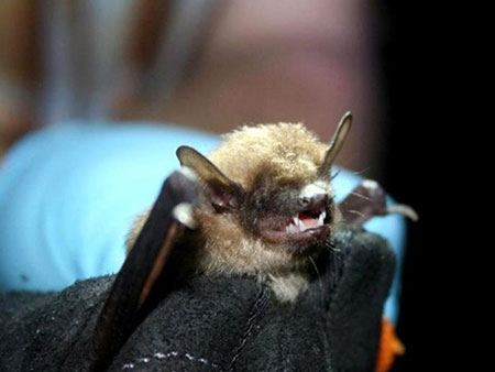 Major Steps in Professional Bat Removal