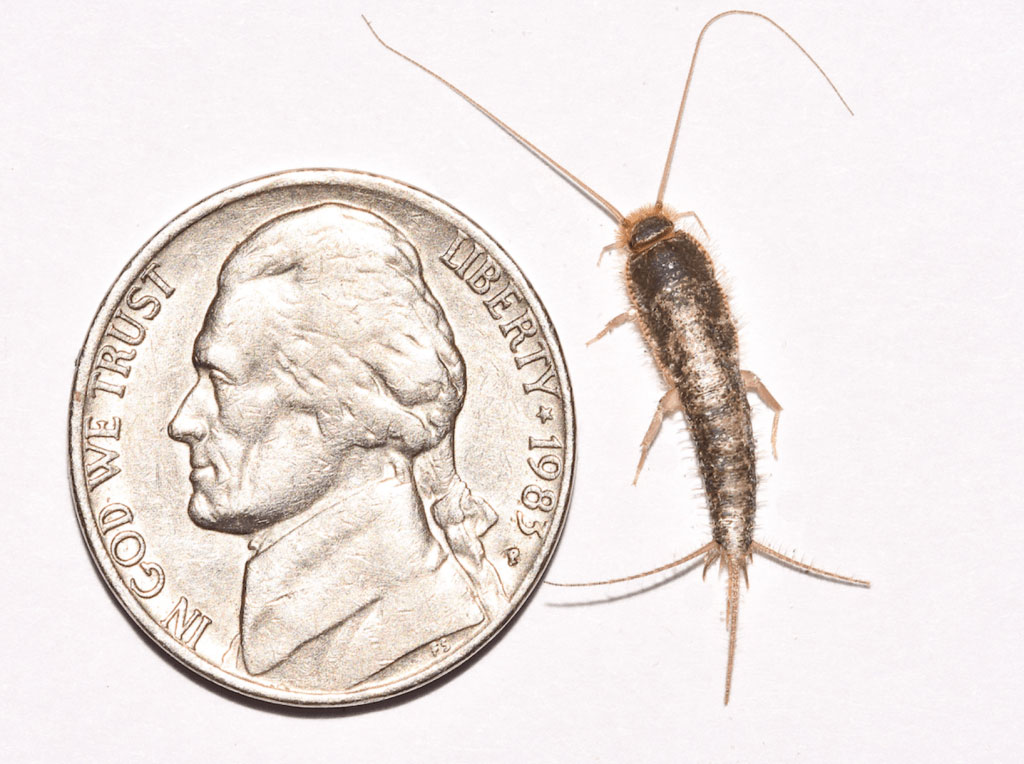 home-remedies-to-get-rid-of-silverfish-naturally