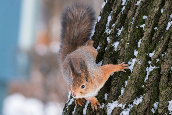 Top 5 Ways To Remove Squirrels From Attic Spaces