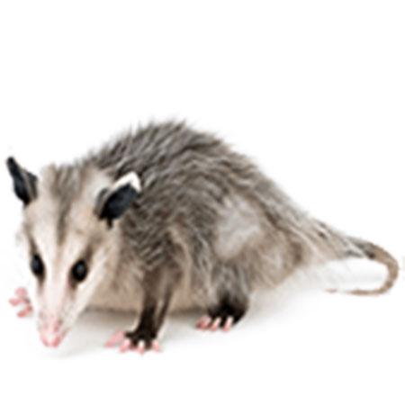 Possum Versus Opossum The Real Answer