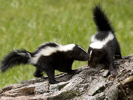 skunk blog image