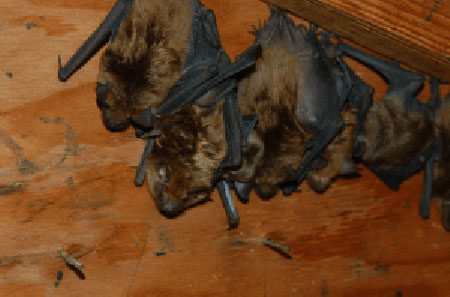 the-dangers-of-bats-in-your-home