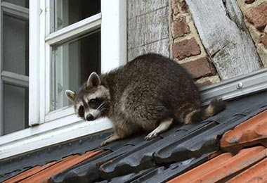 HOW CAN I TRY TO GET RID OF THE RACCOONS MYSELF?