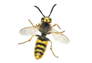 5 Facts You Need To Know About European Hornets!