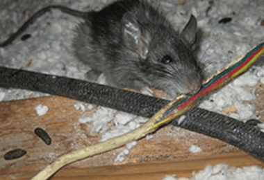 How Can I Control Rats Around My Home?