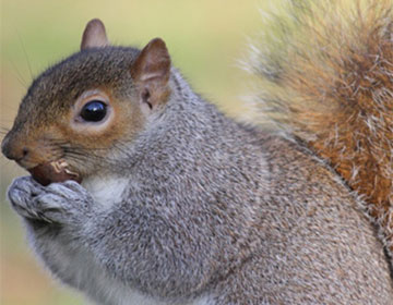 7 Tell-Tale Signs You Have Squirrels