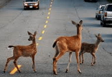 Deer Mating Season
