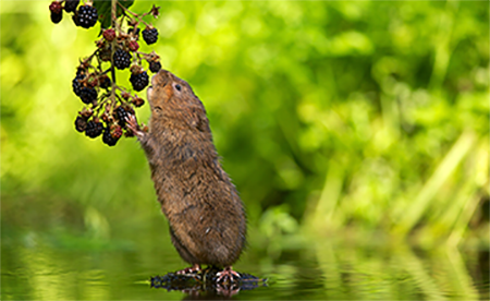 Vole Eating Berries