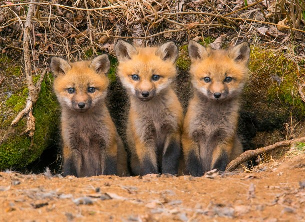All About The North American Red Fox