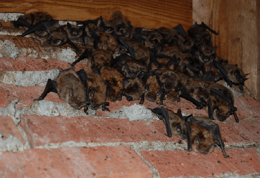 Bat Control And Removal In Virginia