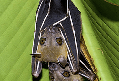 Bats And The Benefits Of