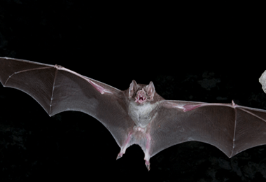 Brown Vampire Bat Virginia