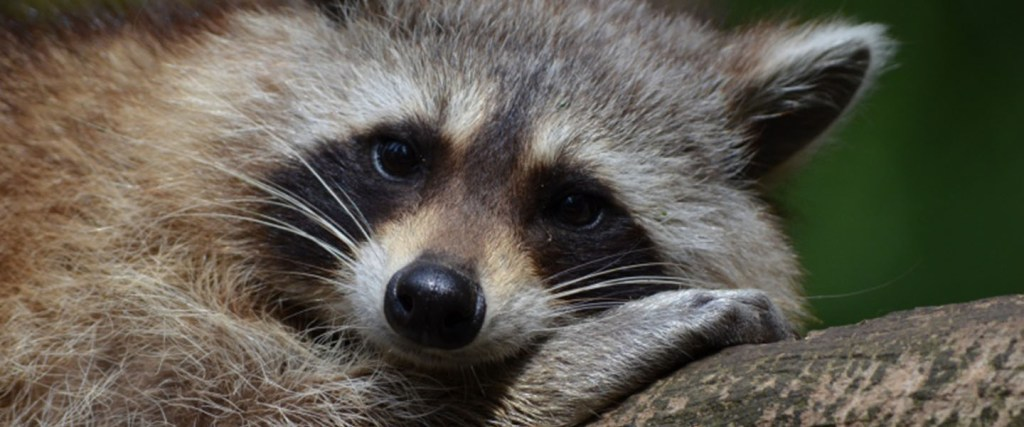 Clever and Cute Raccoon Removal Stories