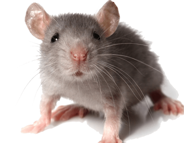 How to get rid of Mice: Tips and tricks from the experts