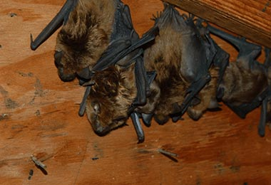 Is There a Green Method to Get Rid of a Bat Colony?