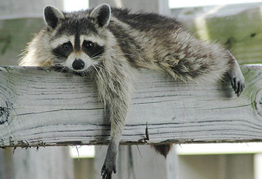 5 Signs You Have A Raccoon