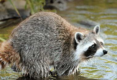 Image of: Removal Indystar Raccoon Resources For Animal Control Say Yes To Ses