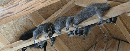 4 Crucial Steps To Get Raccoons Out Of Your Attic