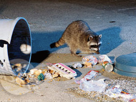 Raccoon Removal and Control in northern Virginia