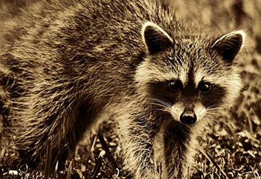 Signs You May Have A Raccoon Living In The Attic