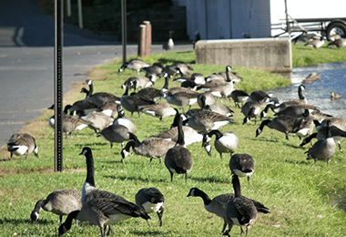 Geese Abatement: What You Should Know | Say YES to SES
