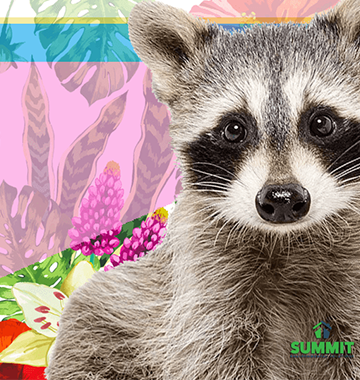 Everything You Need To Know About Rabid Raccoons