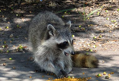 Top Raccoon Myths Dispelled