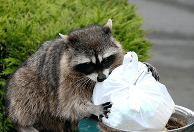 Trash Panda Facts You Need To Know