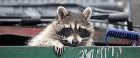 Virginia Raccoon Problems